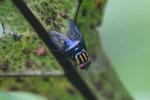 Rainbow fly [west-papua_5966]