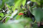 Bright red-orange moth [west-papua_5980]