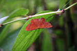 Bright red-orange moth [west-papua_5983]