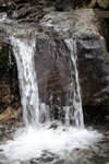 Waterfall-climbing tadpole [west-papua_5987]