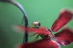 Red grasshawk capung
