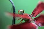 Red grasshawk dragonfly [west-papua_6095]