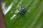 Turquoise blue katydid larva [west-papua_6133]