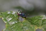 Turquoise blue katydid larva [west-papua_6205]