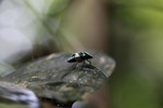 Multicolored metallic beetle with a broad white band [west-papua_6220]