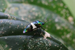 Multicolored metallic beetle with a broad white band [west-papua_6222]
