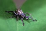 Weevil [west-papua_6230]