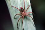 Spider [west-papua_6258]