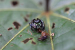 Jumping spider [west-papua_6342]