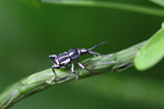 Black and yellow weevil [west-papua_6354]
