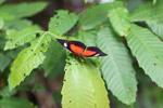 Red, black, and white butterfly in New Guinea [west-papua_6396]
