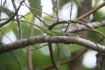 Prasinohaemus sp. skink [west-papua_6411]