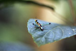 Black, turquoise, yellow, orange, brown, and pink grasshopper [west-papua_6428]