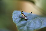 Black, turquoise, yellow, orange, brown, and pink grasshopper [west-papua_6433]