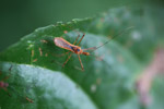 Orange assassin bug [west-papua_6456]