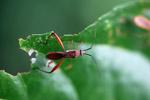 Orange assassin bug [west-papua_6460]