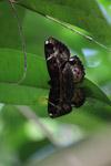 Brown moth [west-papua_6478]
