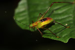 Red, green, and yellow katydid