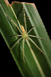Green spider with orange markings