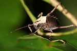 Armored katydid [west-papua_6560]