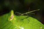 Green walking stick