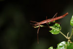Stick insect [west-papua_6573]