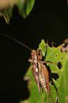Cricket [west-papua_6597]