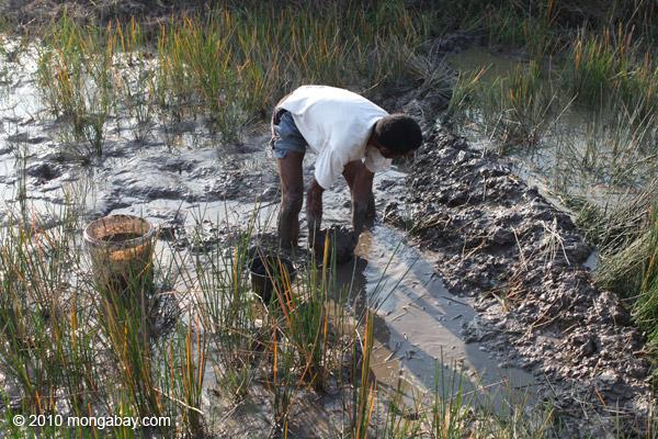 Man working in highland rice fields [papua_5148]