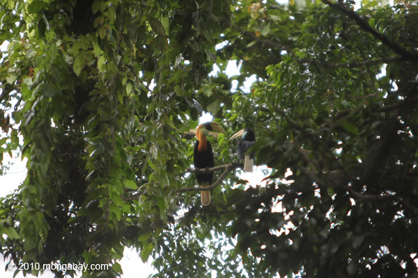 Male and female Papuan Hornbills (Rhyticeros plicatus) in the rainforest canopy in New Guinea [west-papua_0296]