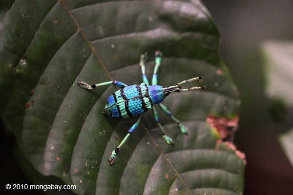 Schoenherr's blue weevil (Eupholus schoenherri - Curculionidae family), a spectacular blue and turquoise beetle from New Guinea. Photo by: Rhett A. Butler.