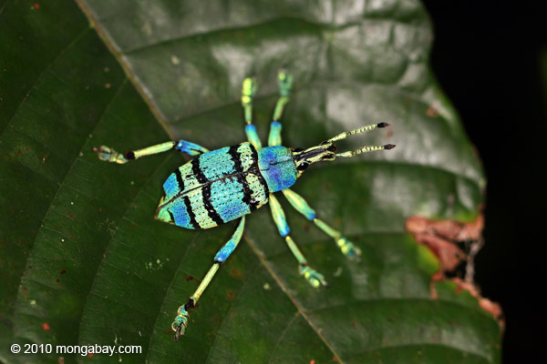 A spectacular blue and turquoise beetle from Indonesian New Guinea. Photo by Rhett A. Butler.