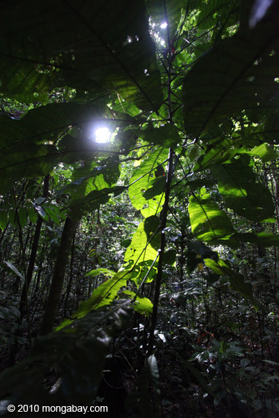 Lowland rainforest in New Guinea