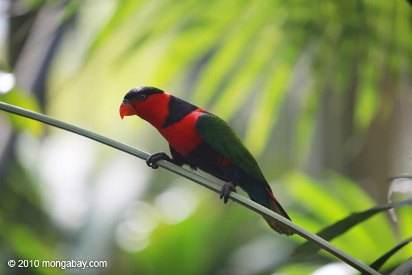 A week of Papua: black-capped lory