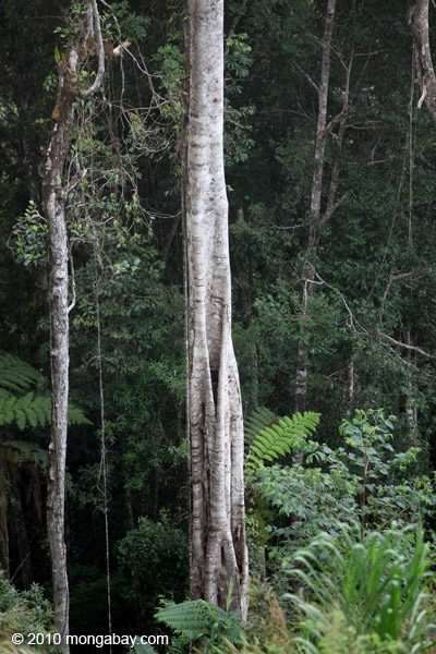 Rainforest tree in New Guinea