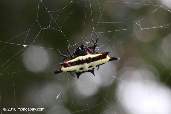 Laba-laba, hidupan liar yang merupakan bagian dari ekosistem lingkungan. Foto: Rhett Butler