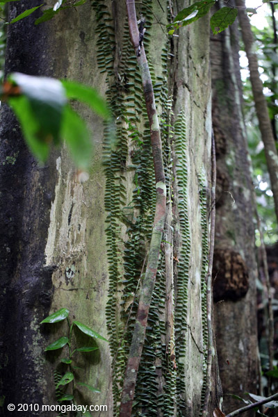Vines growing up the trunk of a rainforest tree in New Guinea [west-papua_6274]