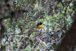 Hooded mountain-tanager (Buthraupis montana) [manu_0028]