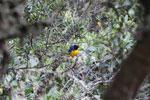 Hooded mountain-tanager (Buthraupis montana) [manu_0032]