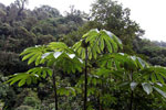 Cecropia in the Peruvian cloud forest