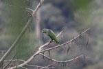 Parrot [manu_0327]
