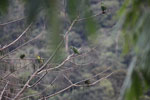 Parrot [manu_0328]