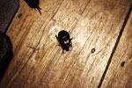 Female rhinoceros beetle
