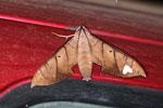 Moth that resembles a leaf