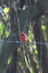 Vermilion flycatcher [manu_0465]