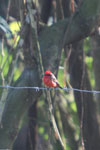 Vermilion flycatcher [manu_0467]