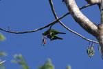 Mealy parrot [manu_0480]