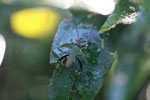 Green and orange flat-footed bug