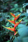 Yellow and red Heliconia