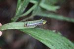 Yellow-headed caterpillar