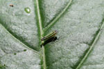 Striped leafhopper (green, yellow, blue and black)